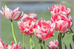 Tulpen im Morgentau