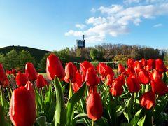 Tulpen im Nordsternpark in Gelsenkirchen