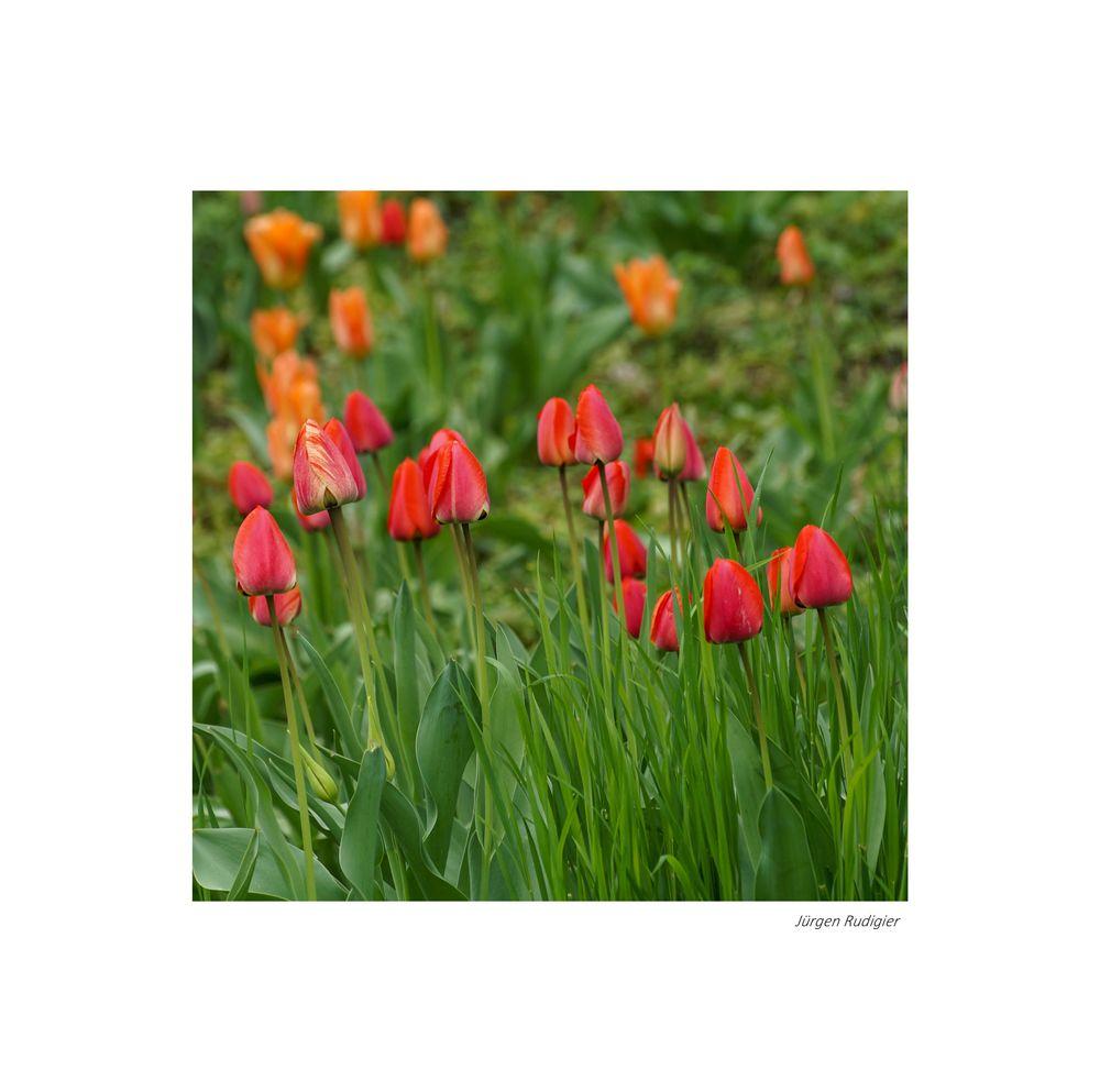 Tulpen im Quadrat gerahmt