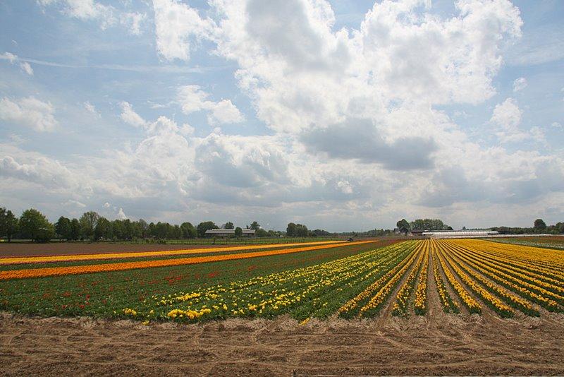 Tulpen im Rhein-Kreis Neuss