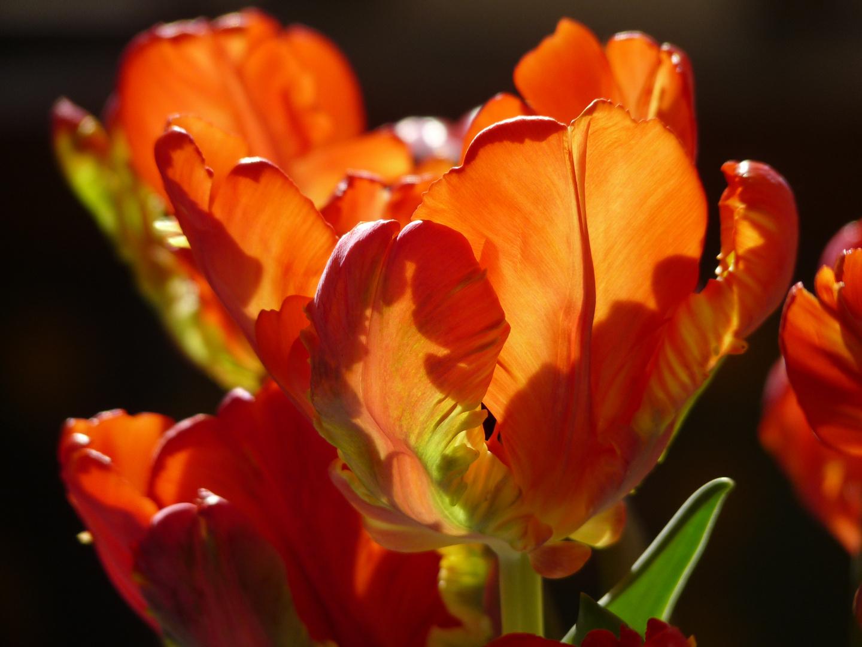 Tulpen im sonnigen Licht