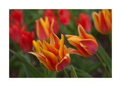 Tulpen im Sturm