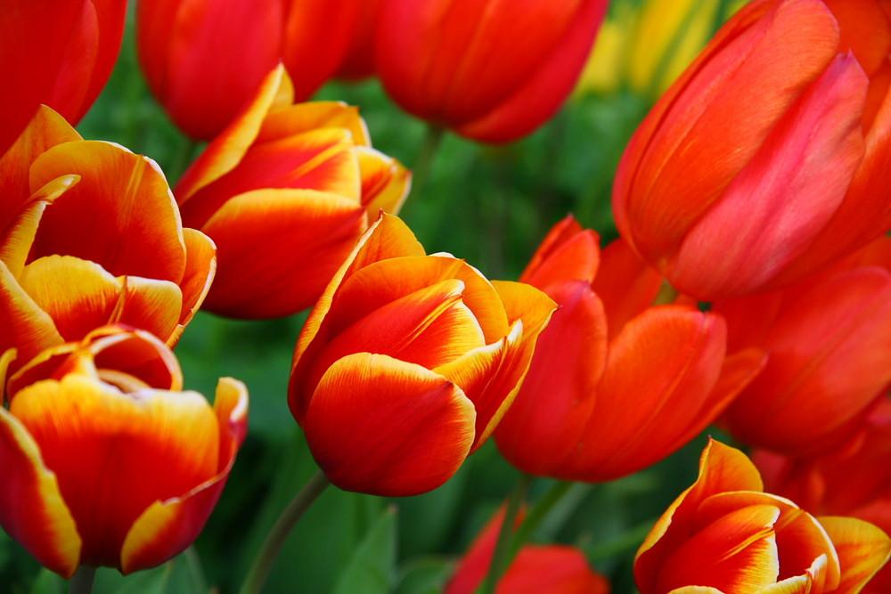 Tulpen in der Abendsonne...