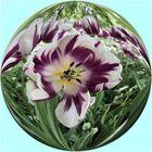 Tulpen in der Kugel