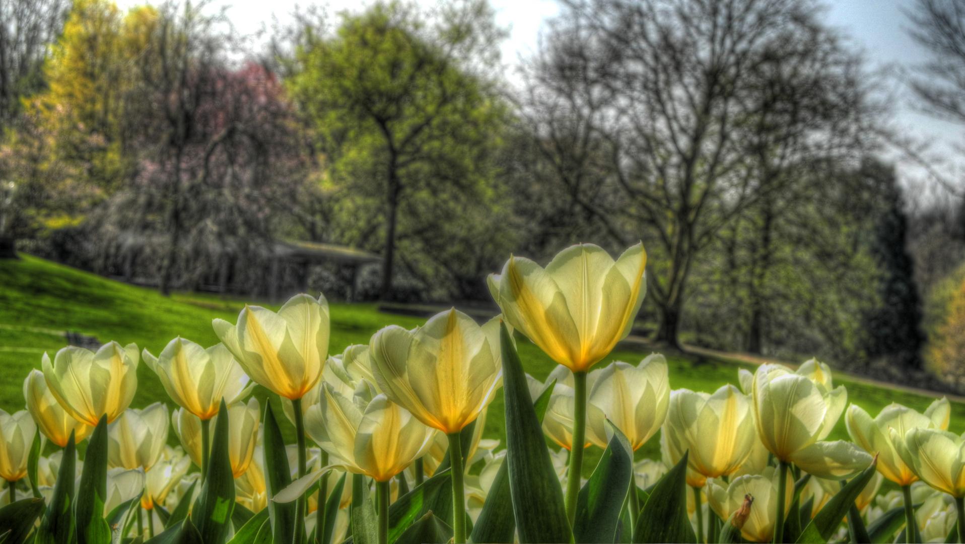 Tulpen in Essen