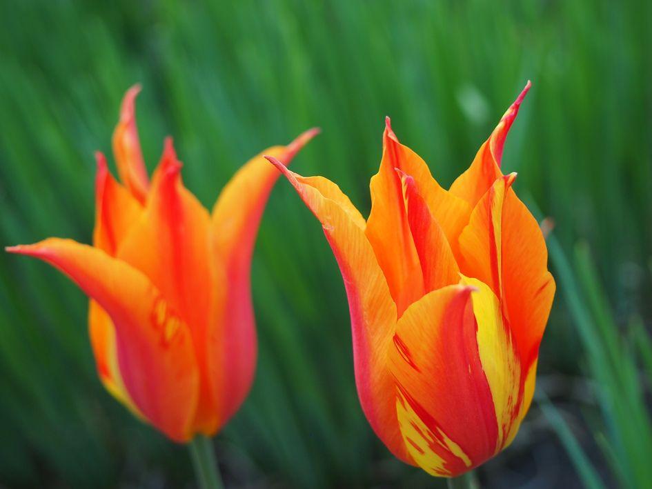 tulpen in flammen