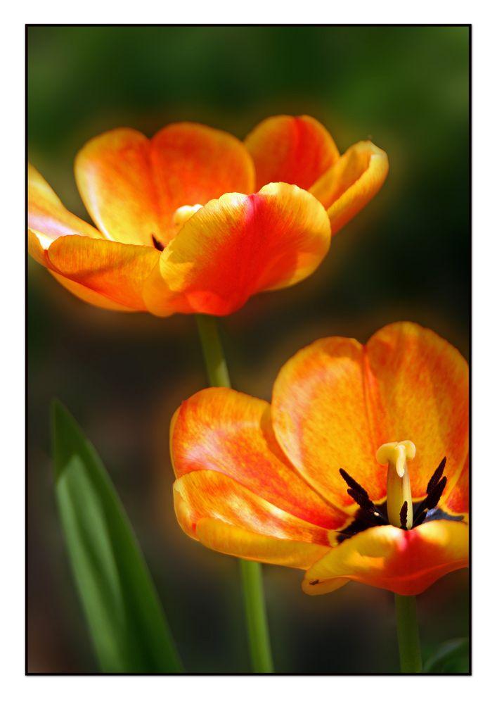 Tulpen in ihrer vollen Schönheit