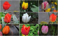 Tulpen in meinem Garten