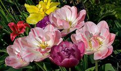 Tulpen in Nachbars Garten!