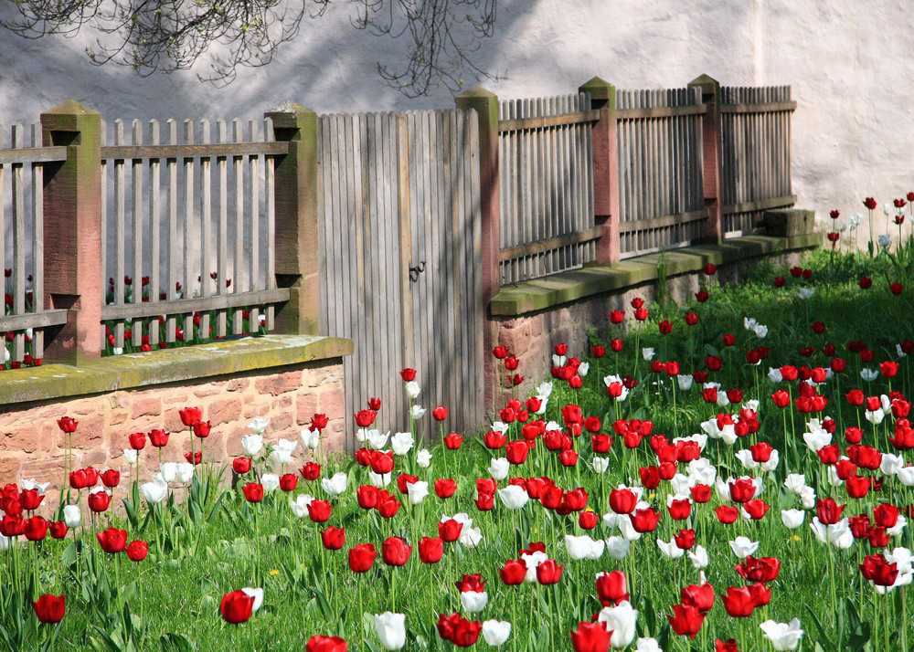 Tulpen in Seligenstadt