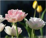 Tulpen in zarten Farben