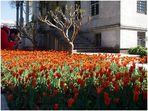 Tulpen kommen aus Istanbul, nicht aus Amsterdam...