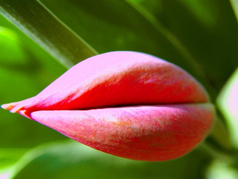 Tulpen-Lippe