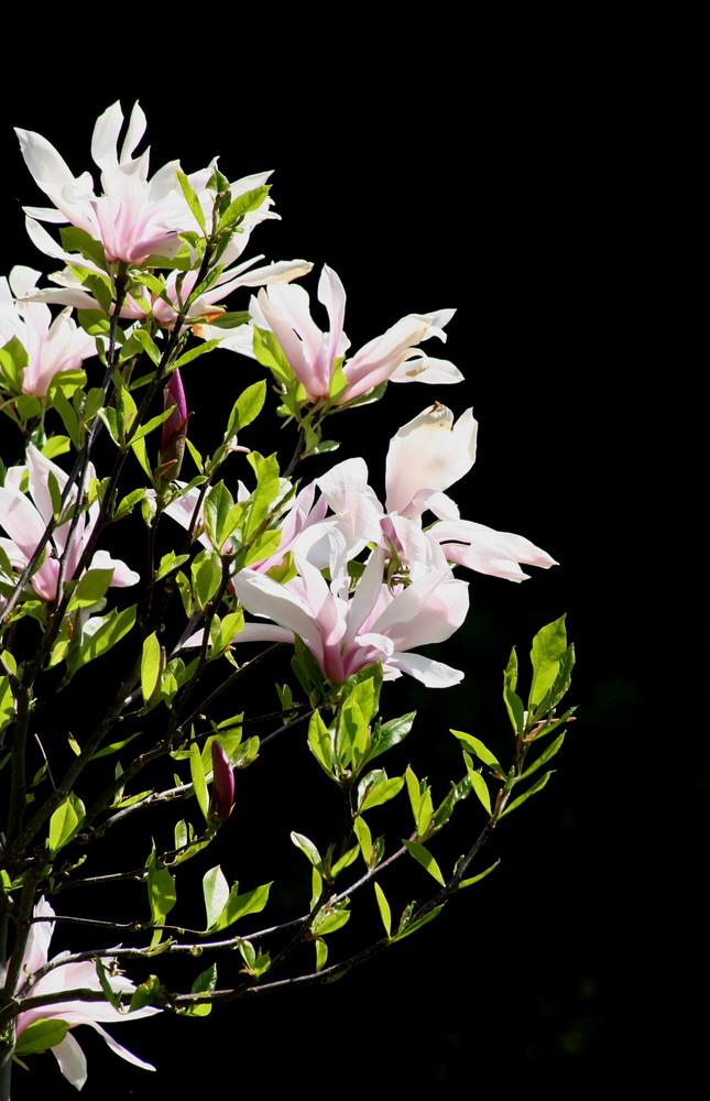 Tulpen-Magnolie