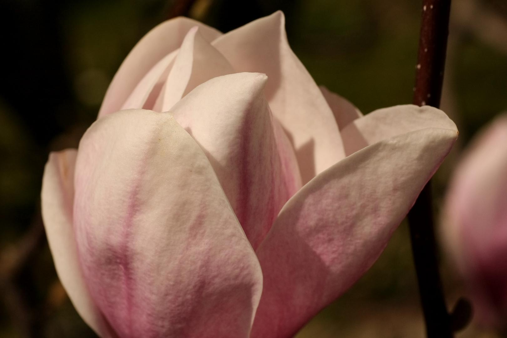 Tulpen Magnolie Blüte