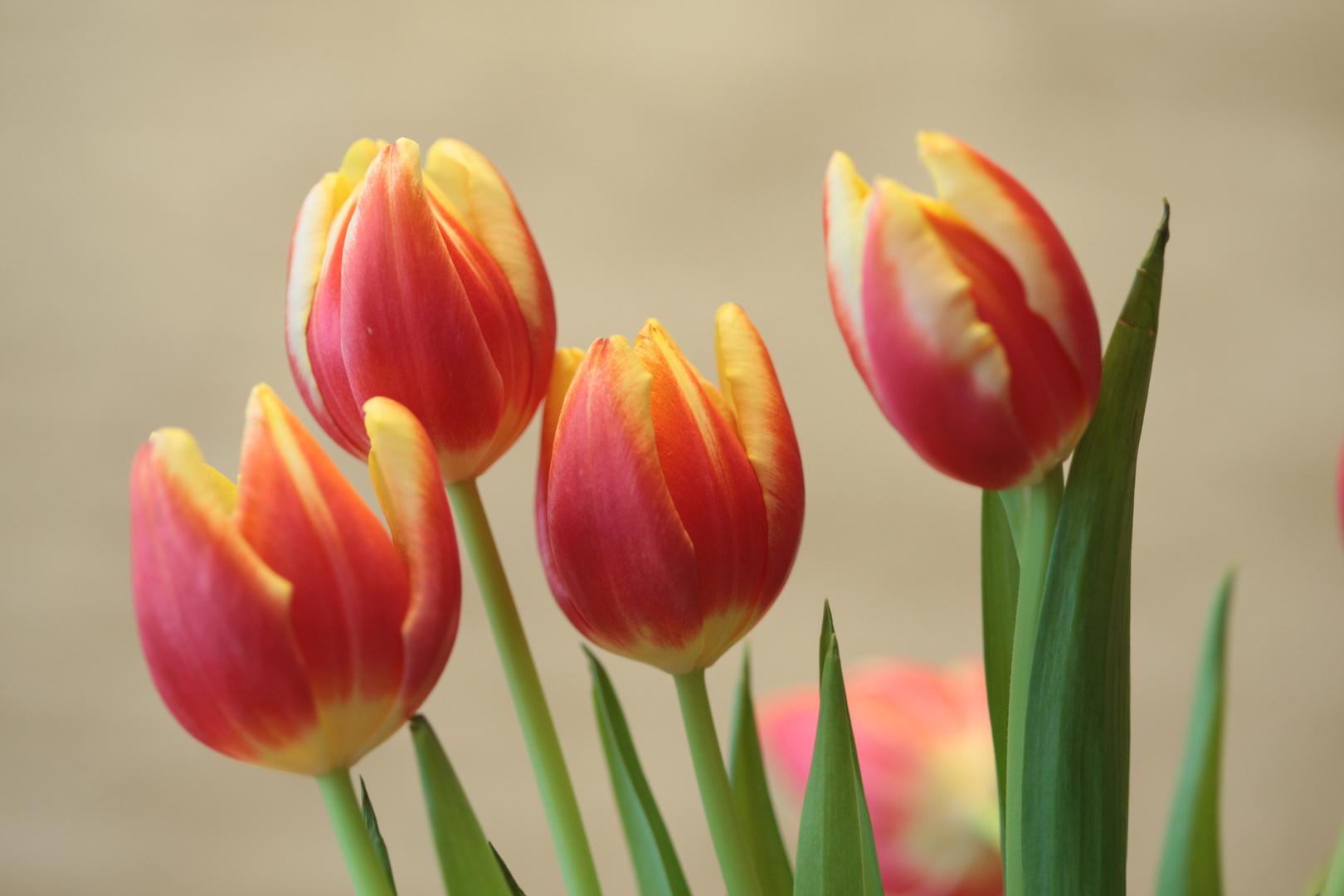 Tulpen Makro