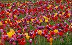 Tulpen mal nicht aus Amsterdam ^