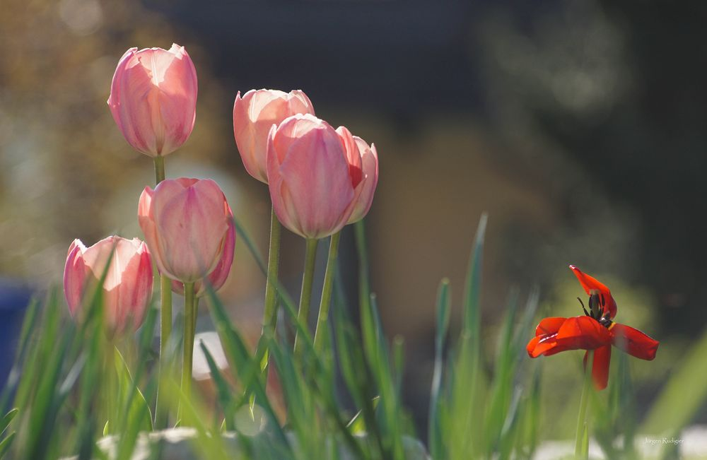 Tulpen mit rotem Einzelgänger