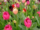 Tulpen-Mix
