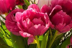 Tulpen nahe