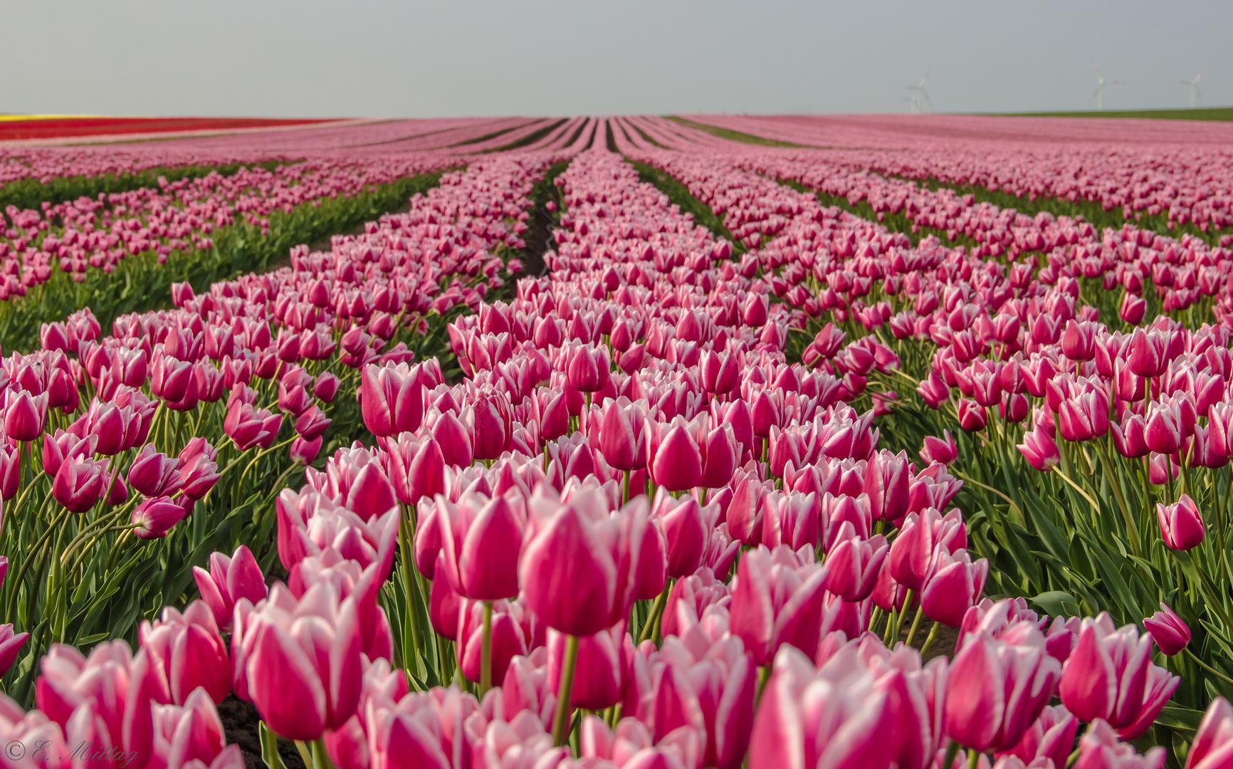 Tulpen Holland