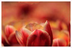 Tulpen ohne Ende...
