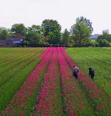 Tulpen - Pflege
