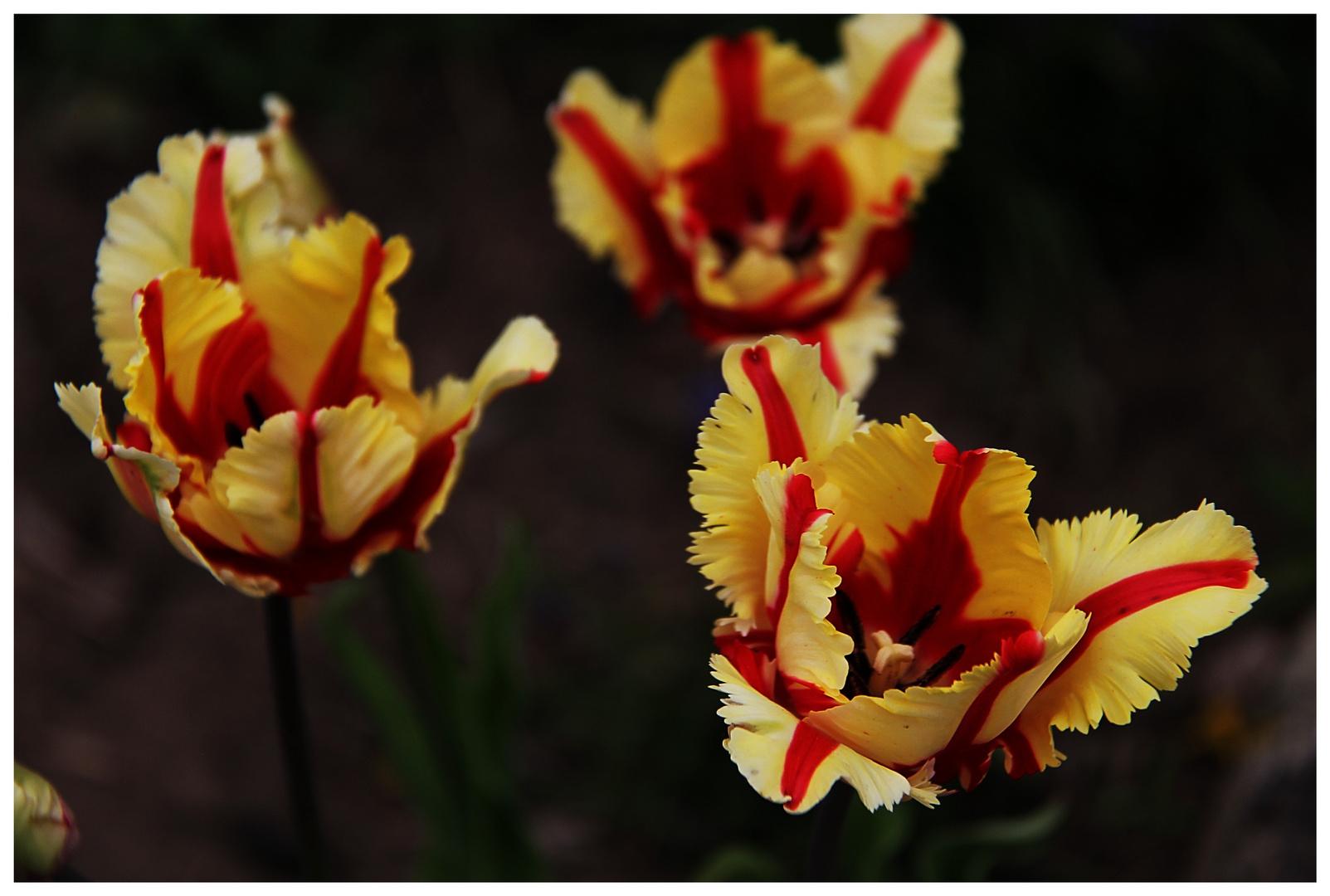 Tulpen protzen mit ihrer Farbenpracht deshalb schließen sie die Kelche bei Nacht!