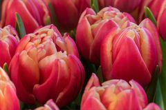 Tulpen pur....