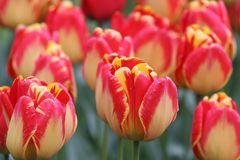 Tulpen rot gelb