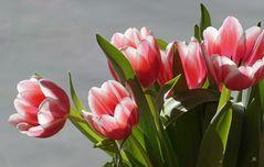 Tulpen Rot-Weiß