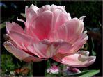 Tulpen - Schönheit