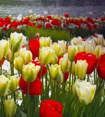Tulpen, soweit das Auge reicht...