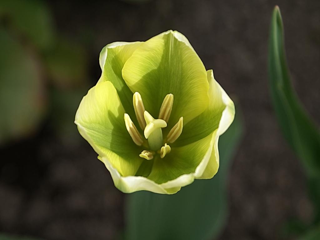 Tulpen Spring Green