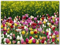 Tulpen stechen Rapsfeld aus