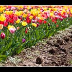 Tulpen-Traum