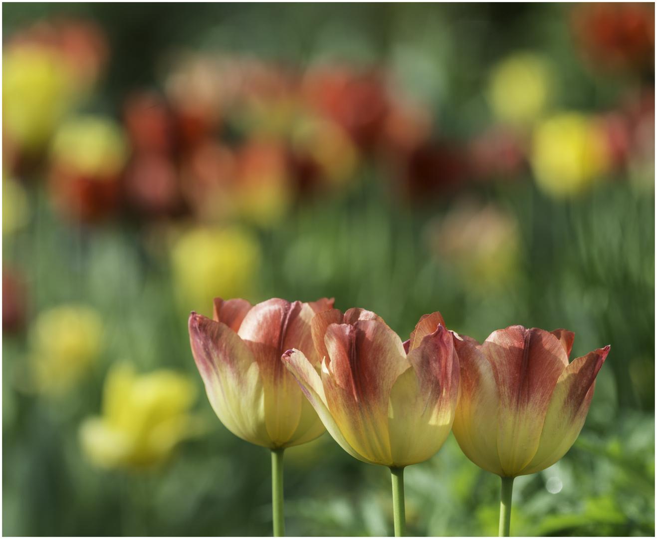 Tulpen - Trio