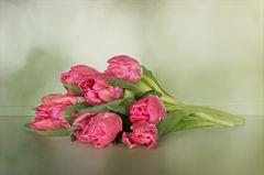Tulpen - Tulipa - Tulips....