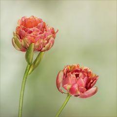 Tulpen, Tulips, Tulipes...