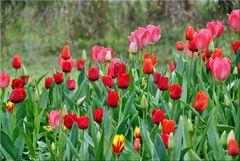 Tulpen, Tulpen