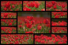 Tulpen über Tulpen ...