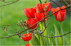Tulpen überall