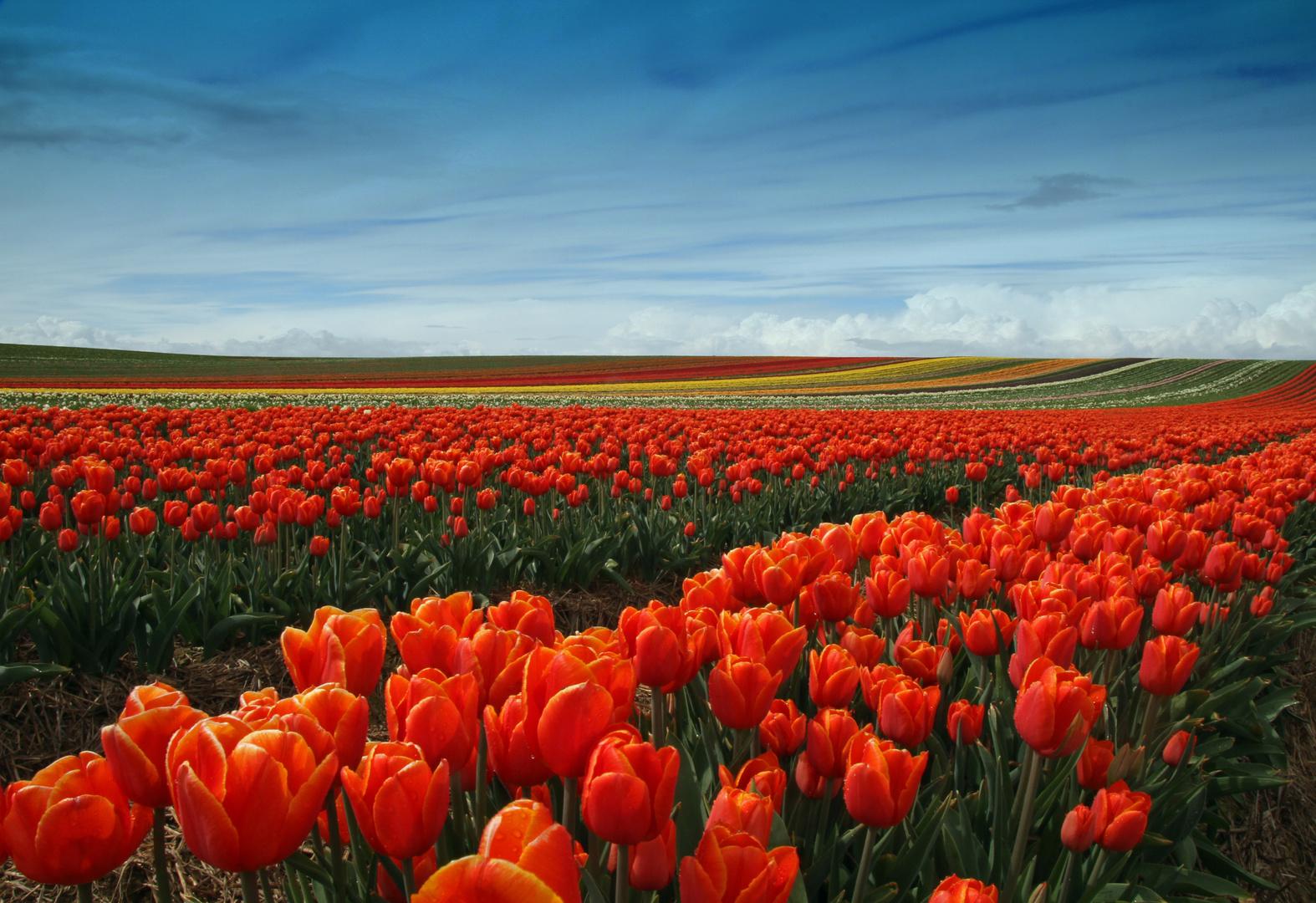 Tulpen übern Berg