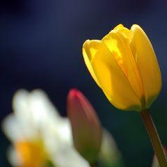 Tulpen und Narzisse