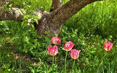 Tulpen unter einem Apfelbaum!