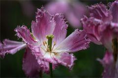 Tulpen-Variation