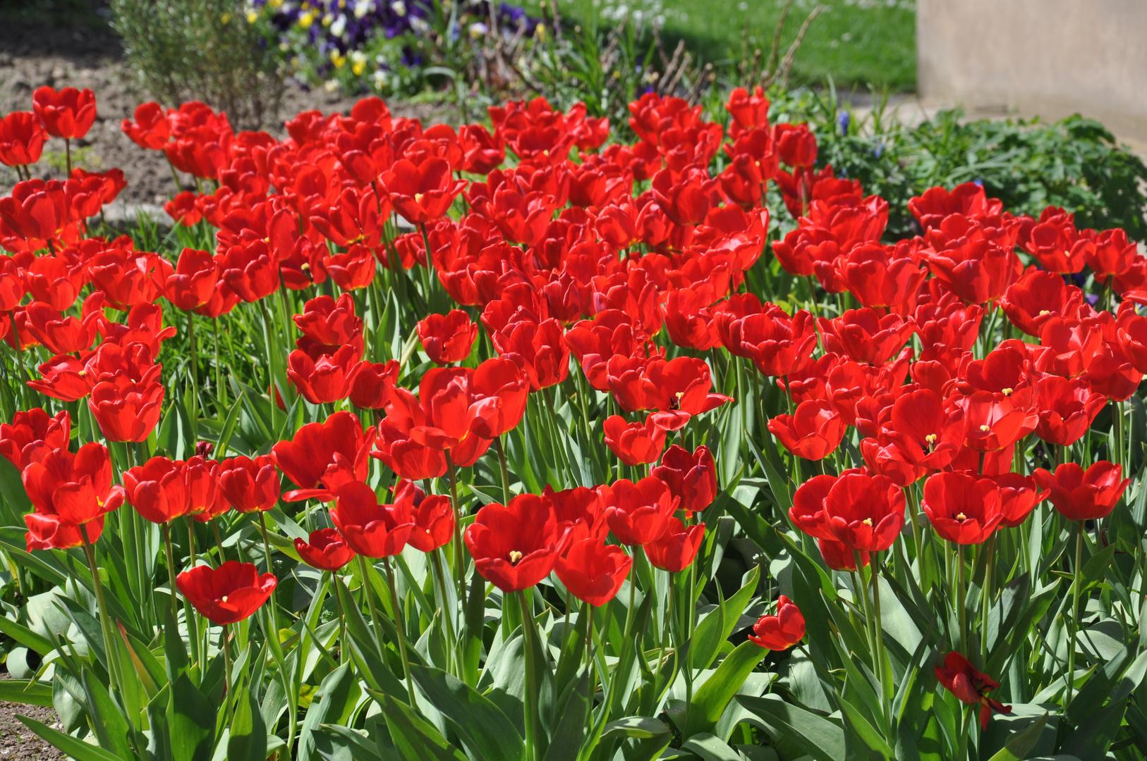 tulpen von unseren nachbargarten foto bild pflanzen pilze flechten bl ten. Black Bedroom Furniture Sets. Home Design Ideas