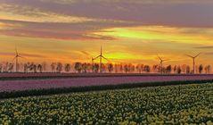 Tulpen vor Windrädern