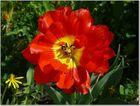 Tulpen wie Rosen schön