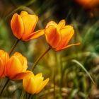 tulpen wird es im garten bald geben ...